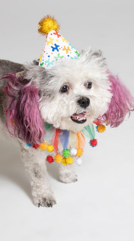 Celebration Pet Costume by Pet Krewe